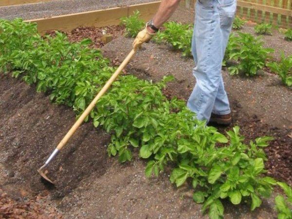 Как правильно окучивать картошку - сроки, количество, плюсы
