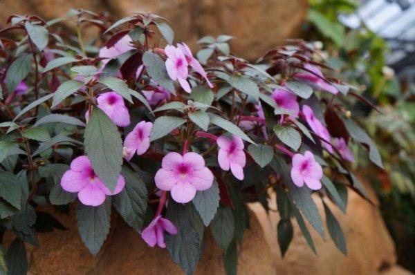 Ахименес — пышное цветение при минимальном уходе. Выращивание в комнатных условиях. Фото и видео.