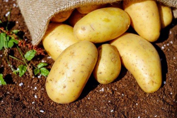 Ранний картофель и секреты раннего урожая + фото и видео
