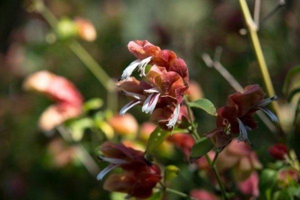 Юстиция - уход, выращивание, размножение с фото и видео