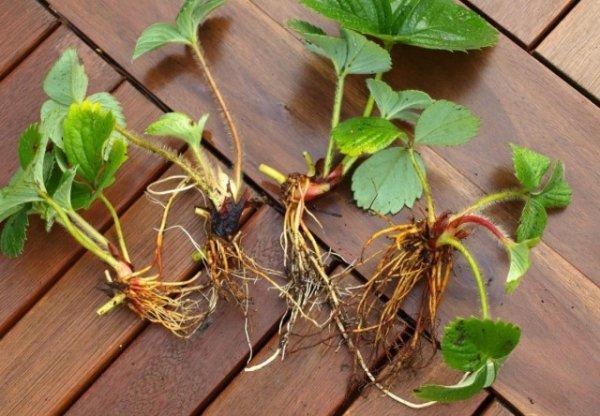 Как размножать клубнику усами правильно? Сроки и как сажать