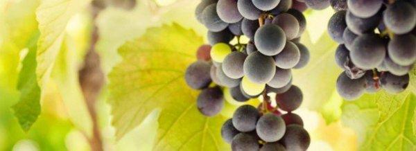 Пересадка винограда осенью как и когда проводить, можно ли, особенности для разных типов