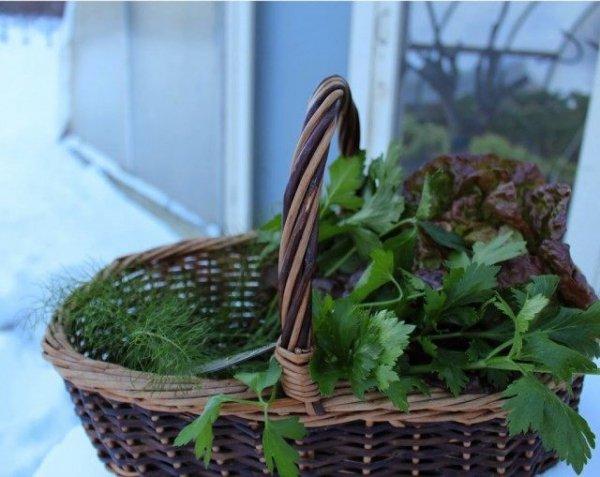 Выращивание зелени в теплице зимой - лук, укроп, петрушка и салат