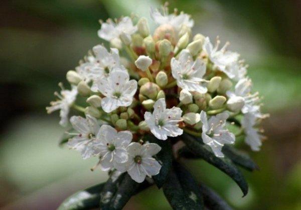 Багульник - фото, выращивание и лечебные свойства