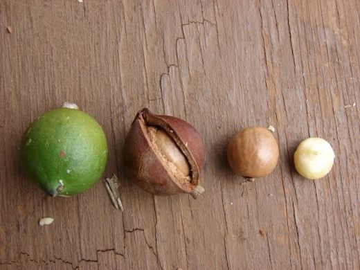 Макадамия - описание, условия выращивания, размножение