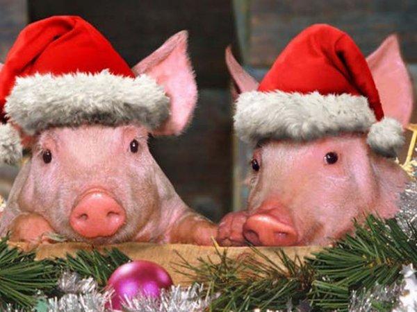 Поздравления на Новый 2019 год Кабана Свиньи в стихах и прозе