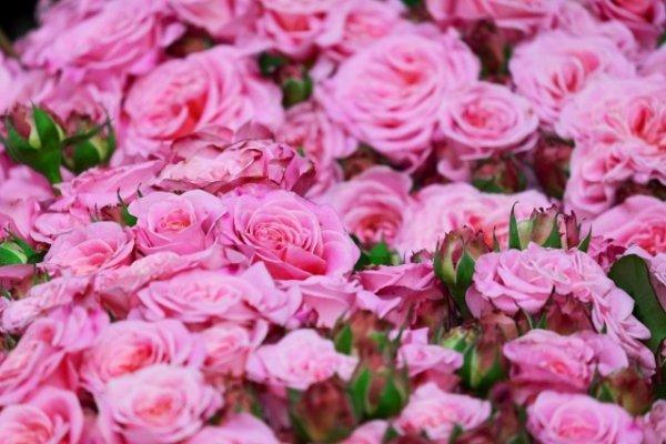 Готовим розы к осени - осенний уход за розами на даче.