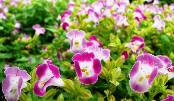 Как выращивать торению из семян в домашних условиях
