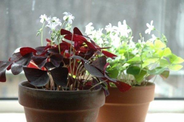Оксалис цветок или Кислица. Уход в домашних условиях с фото и видео