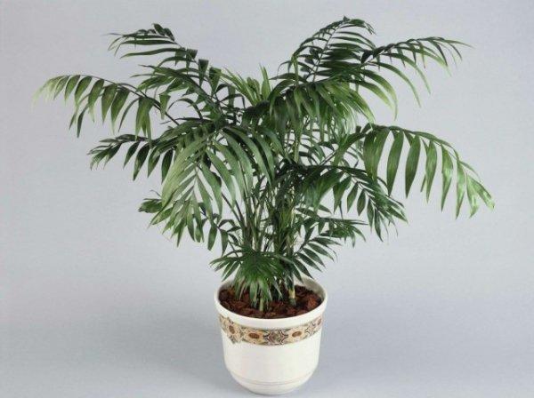 Виды пальм фото и выращивание в домашних условиях