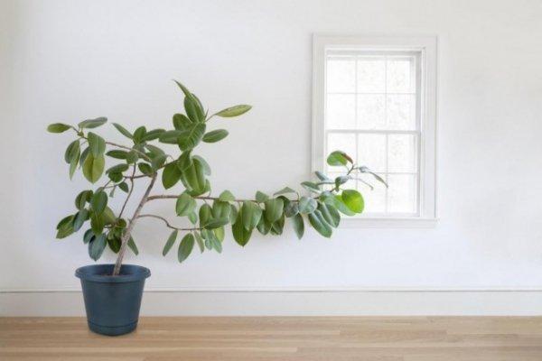 Почему вытягиваются комнатные растения? Причины и решение проблем