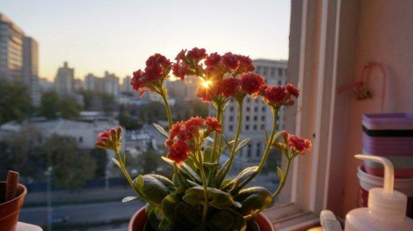 Каланхоэ домашний - выращивание и лечебные свойства
