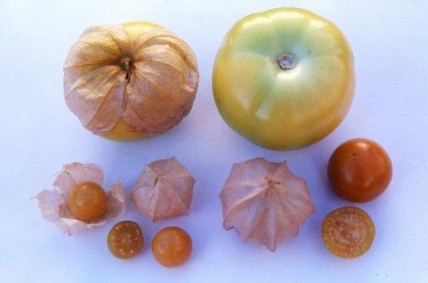 Физалис съедобный виды, выращивание и уход