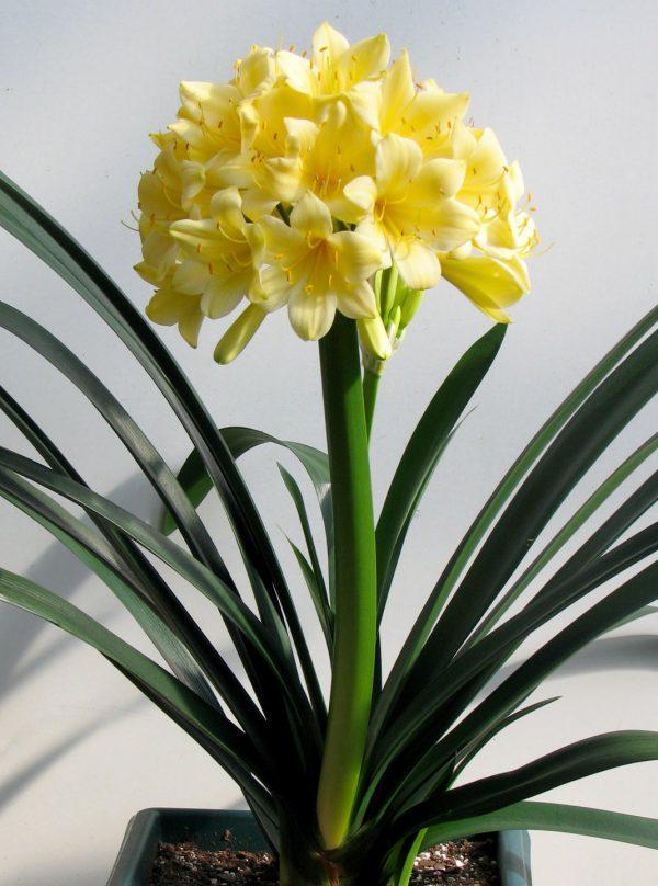 5 нескучных альтернатив гиппеаструму. Комнатные луковичные растения. Фото
