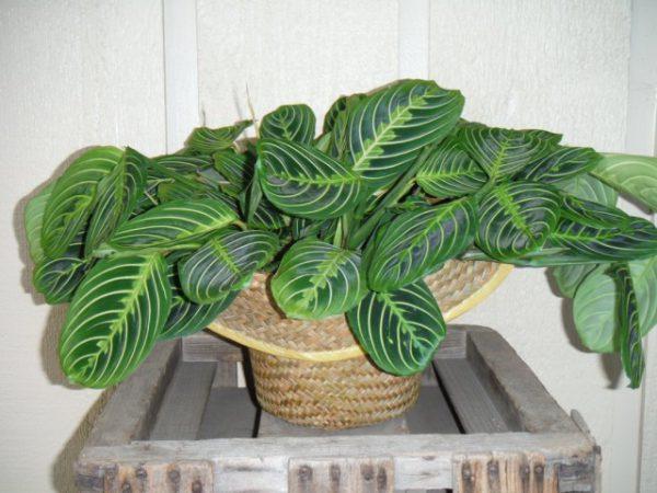 Растения с самыми строгими узорами на листьях - фото и названия