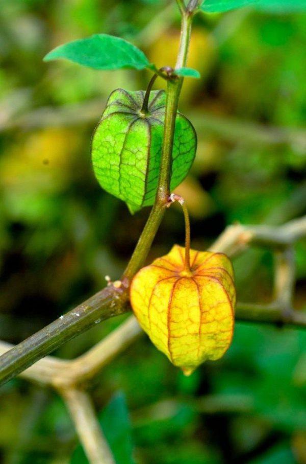 Физалис декоративный и съедобный, выращивание и уход