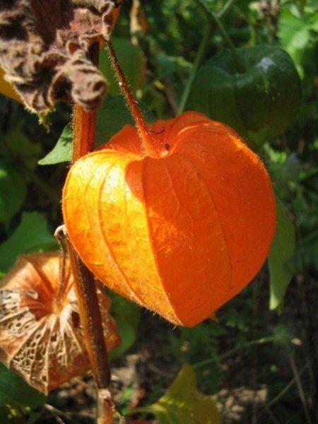 Физалис овощной фото, полезные свойства, выращивание и уход