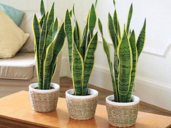 Строгие растения со строгими формами и линиями - фото и описание