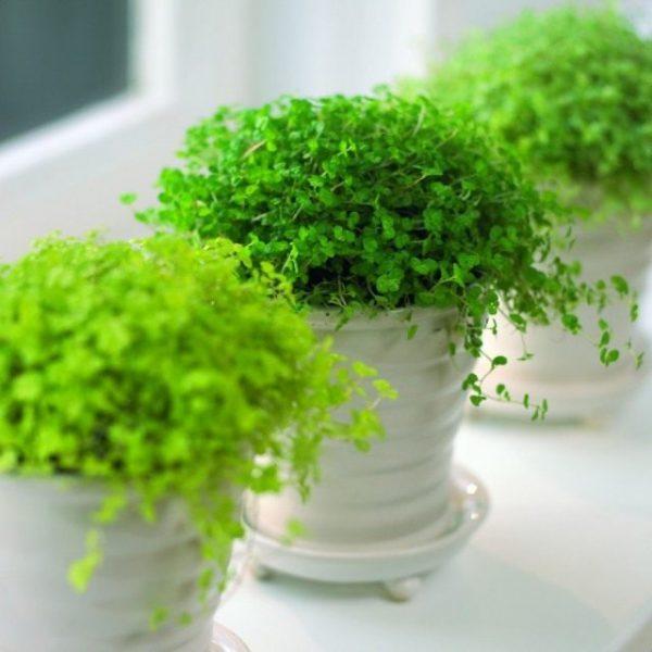Лучшие ажурные комнатные растения. Список названий растений с ажурными листьями. Фото