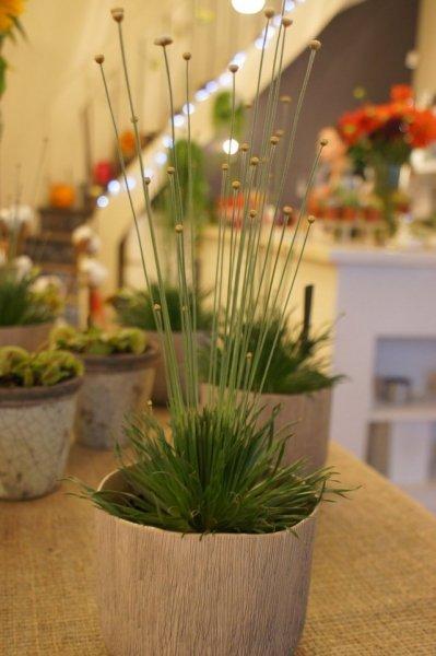 Сингонантус – выращивание и уход в домашних условиях с фото и видео