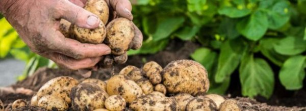 Посадка картофеля - способы и схемы, как и на какую глубину сажать