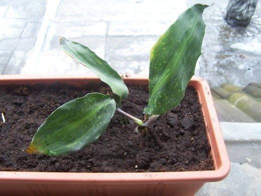 Аспидистра - выращивание и уход в домашних условиях