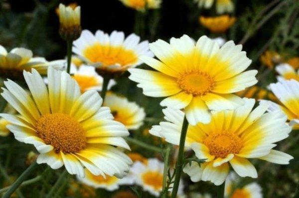 Хризантема овощная съедобная – красивая, вкусная и полезная