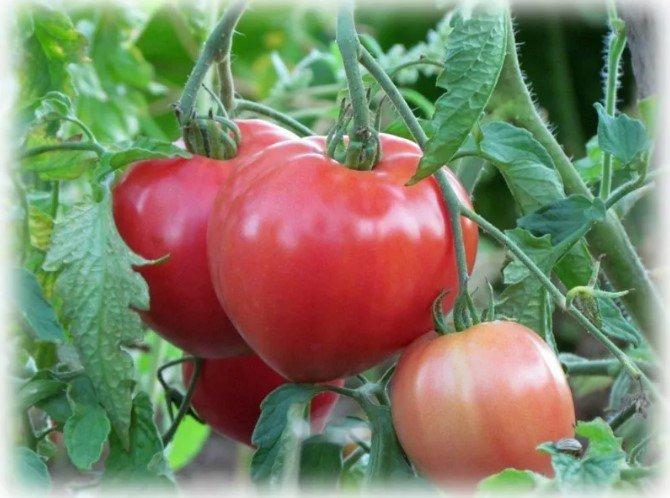 Лучшие сорта томатов помидоров на 2019 год для Урала и Сибири. Отзывы и фото сортов томатов