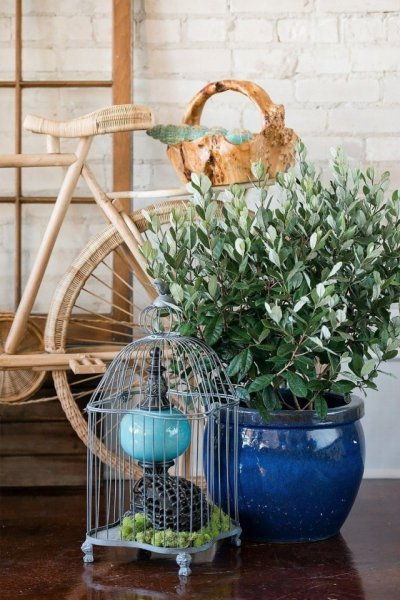 Комнатное фейхоа - выращивание в домашних условиях с фото
