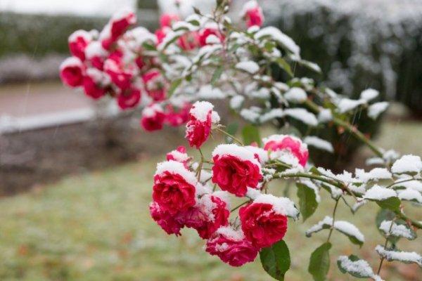 5 простых правил ухода за розами осенью. Профилактическая обработка и укрытие