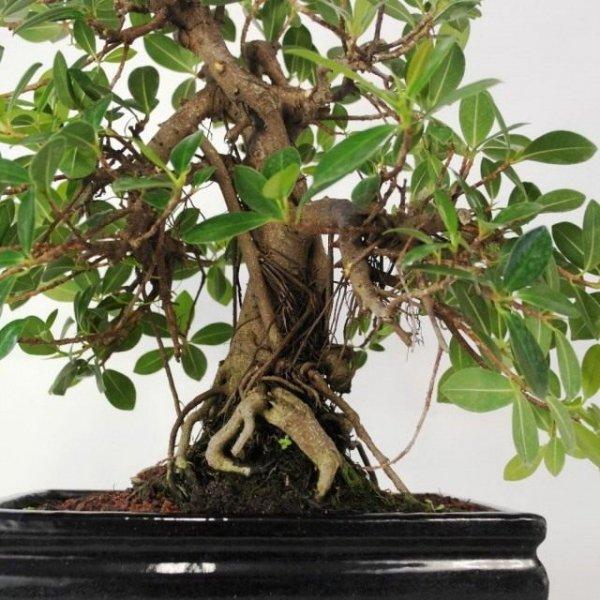 Фикус Панда - выращивание и уход в домашних условиях