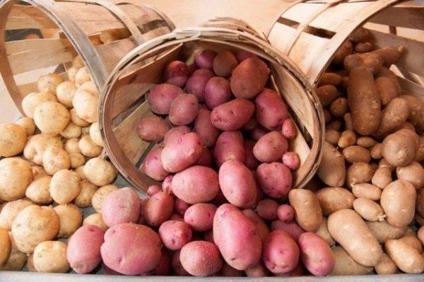 Как правильно хранить картофель - условия и температура