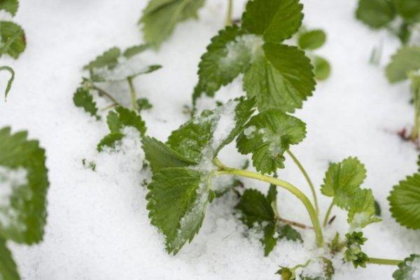 Как укрывать клубнику на зиму, когда и как это делать