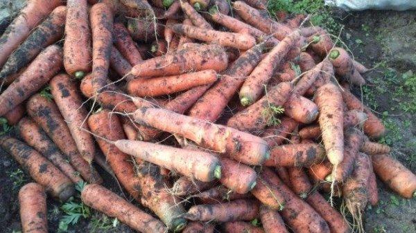 Морковь посадка, выращивание и уход с фото и видео