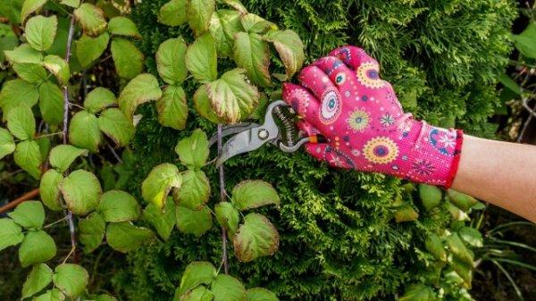 Обрезка малины ремонтантной весной, летом и осенью
