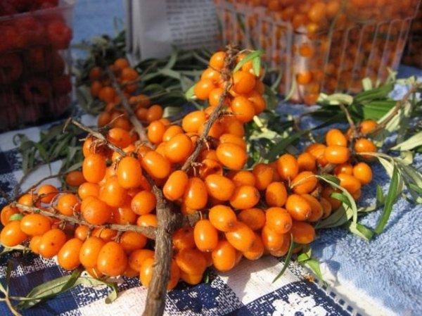 Облепиха — уникальная ягода. Посадка, выращивание, размножение. Фото и видео