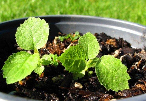 Как вырастить киви в домашних условиях из семян, косточки с видео и фото