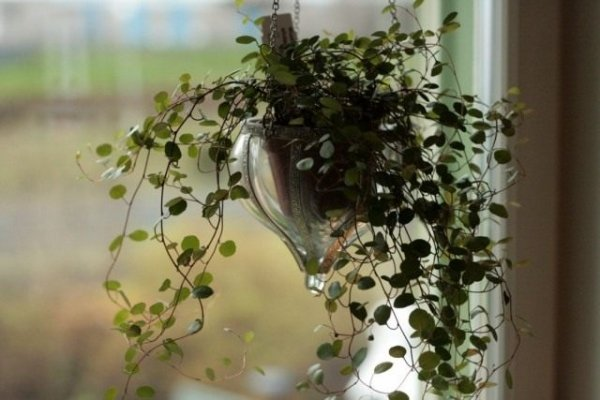 Комнатная мюленбекия - уход в домашних условиях с фото и видео