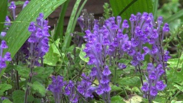 Шлемник байкальский полезные свойства и выращивание