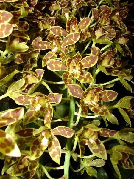 Все про орхидеи от А до Я - выращивание и уход, виды орхидеи