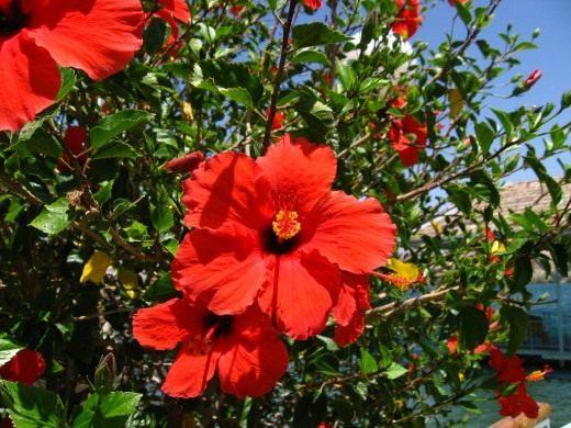 Гибискус от А до Я - выращивание и уход в домашних условиях