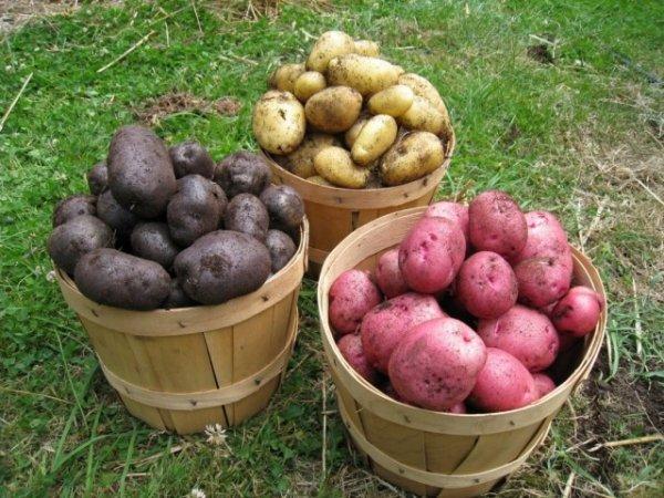 Семенной картофель - как отобрать, подготовить и хранить