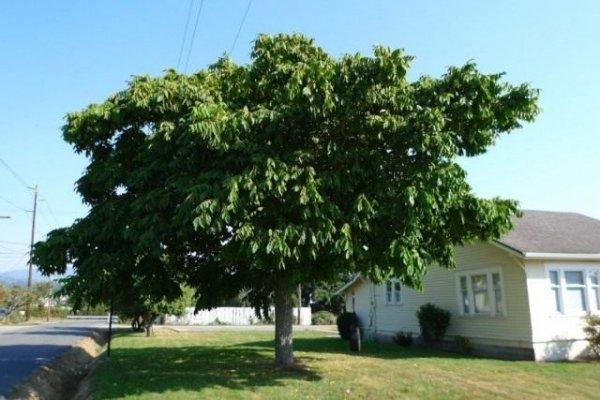 Маньчжурский орех - посадка, уход и выращивание