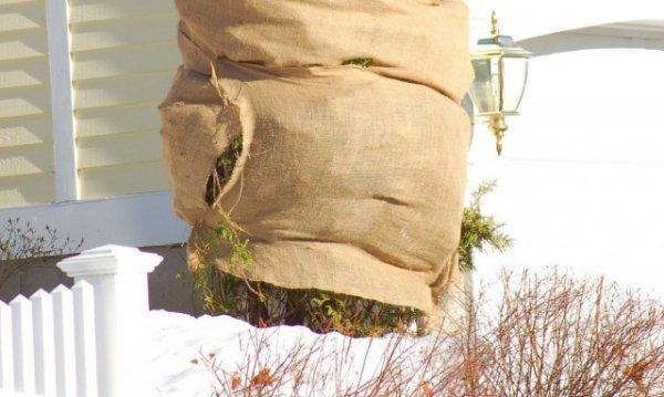Зимовка хвойных растений и защита от снега, мороза и солнца