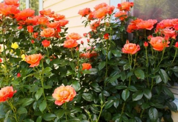 Подвой для роз и размножение розы подвоем с фото и видео