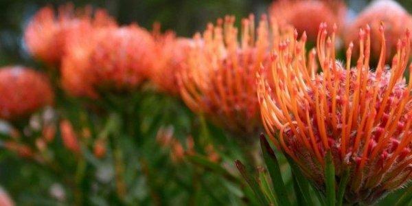 Протея цветок фото и описание, выращивание и уход