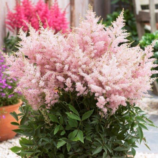 Комнатная астильба — из сада в комнату и обратно. Выращиваем садовую астильбу дома. Фото и видео