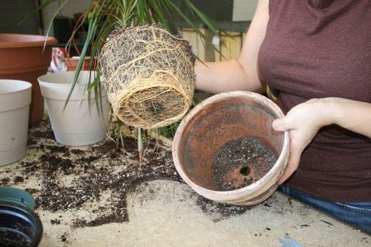 Пересадка комнатных растений - правила, способы и советы