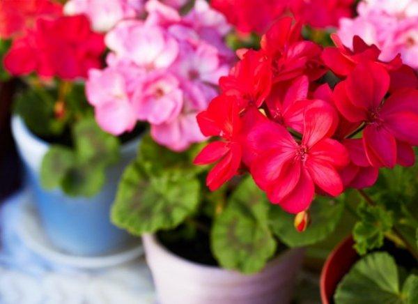 Пеларгония - сорта и уход в домашних условиях с фото и видео