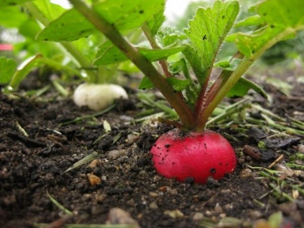 Выращивание редиса - посадка, уход, сорта.